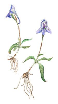 Endangered Orchids